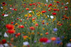 Bunte Blumenwiese mit Mohnblumen und Sonnenhut, papaver, echinacea