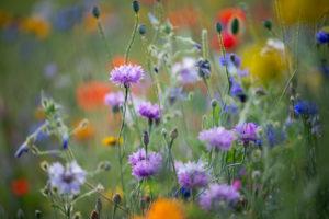 Summer flower meadow with cornflowers, close-up, Centaurea cyanus