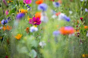 Sommerblumenwiese, close-up