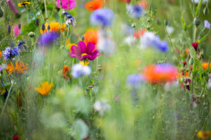 Summer flower meadow, close-up