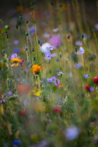 Summer flower meadow, close-up