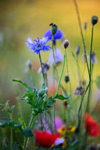Sommerblumenwiese mit Kornblumen und Mohnblumen, close-up, Centaurea cyanus