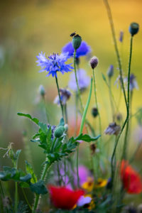 Summer flower meadow with cornflowers and poppies, close-up, Centaurea cyanus