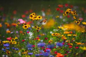 Sommerblumenwiese mit Sonnenhut, close-up, Echinacea