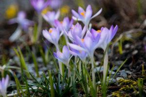 Crocuses in flower meadow, close-up, crocus