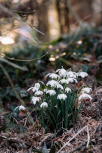 Spring node flower, Leucojum vernum, spring messenger