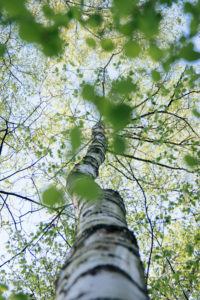 Birch, birch trunk, deciduous forest, close-up