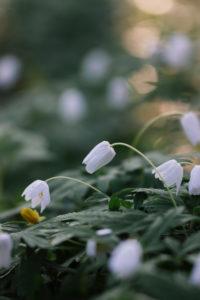 Buschwindröschen im Wald, Anemone nemorosa, close-up
