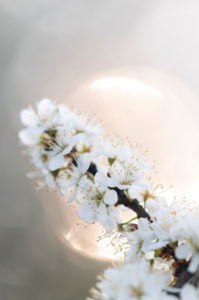 Branch with white flowers, close-up