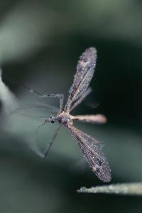 gnat on leaf in morning dew, detail