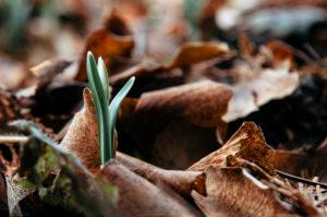 Die ersten Schneeglöckchen im Wald, close-up, galanthus