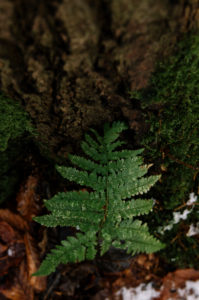 Ferns in the forest in winter, close-up