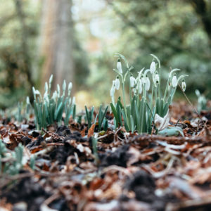 The first snowdrops in the forest, close-up, galanthus