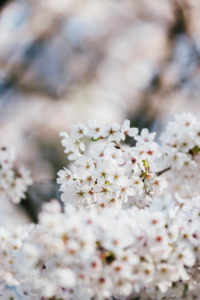 Zweig mit weissen Blüten, close-up