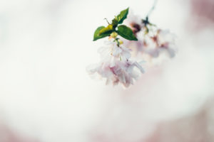 Blossom of a fruit tree, close-up