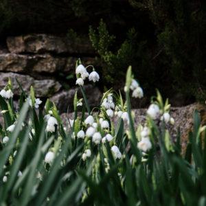 Frühlingsknotenblumen im Frühjahr, close-up, Leucojum vernum