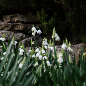 spring snowflake in spring, close-up, Leucojum vernum