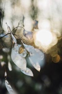 Silver leaf in the back light, lunaria, close-up