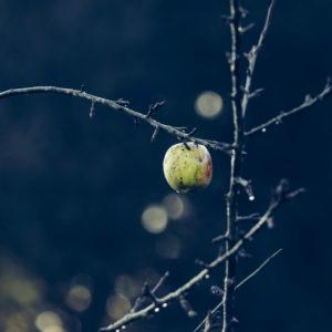 Ripe apple on bald apple tree in late autumn, close-up