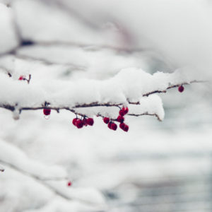 Red berries with snow hanging on branch, close-up