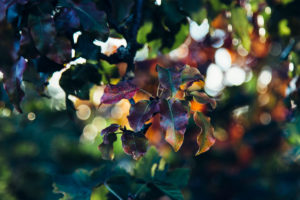 Autumn leaves in the backlight, close-up
