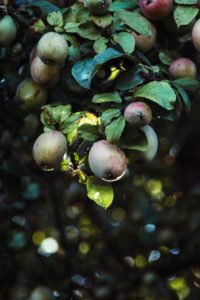 Apple tree with many fruits, close-up