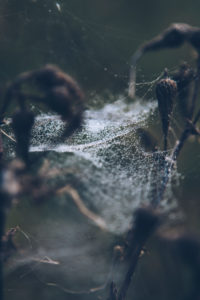 plant with cobweb, close-up