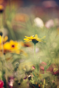 Sun hat in flower meadow, rudbeckia, close-up