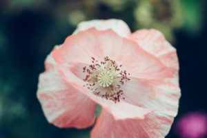 Poppy, pink, close-up, papaver