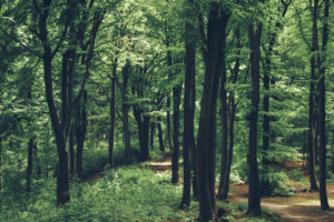 Deciduous trees in the forest