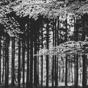 Deciduous trees in the forest, black and white