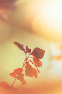 Herbstlaub im Gegenlicht, close-up, verfremdet