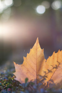 Autumn leaves, maple leaf, acer, close-up