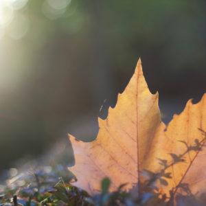 Herbstlaub, Ahornblatt, acer, close-up