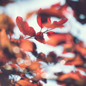Autumn leaves of a beech, close-up