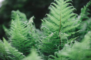 Ferns in the forest, close-up