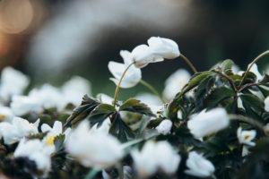 Buschwindröschen, Blüten, close-up, Anemone nemorosa