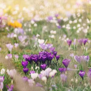 Crocuses in flower meadow, crocus, alienation