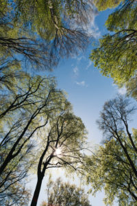 Forest, treetops, from below