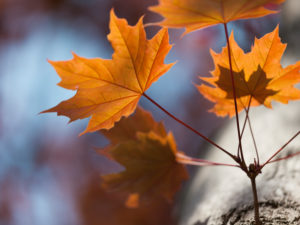 Pflanzendetail, Ahornblätter im Herbst