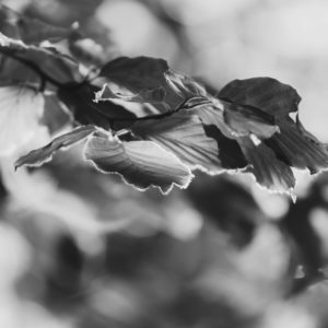 Nature details, beech leaves, close-up, fagus, b/w