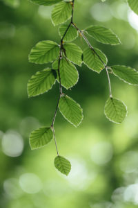 Nature details, beech leaves, close-up, fagus