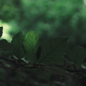 Nature details, beech leaves, close-up