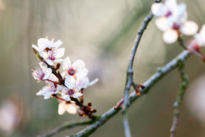 Natur Details, Obstbaumblüte