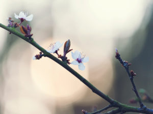 Nature details, fruit tree blossom, blood plum, Prunus cerasifera