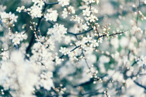 Nature details, fruit tree blossom