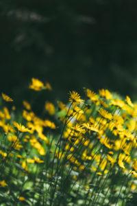 Blühende Blumenwiese mit Sonnenhüten, Echinacea