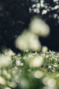 Frühlingsknotenblumen in Wiese, close-up, Leucojum vernum