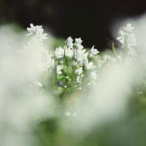 Wiese mit Milchsternblüten, Ornithogalum