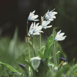 Meadow with milk star flowers, ornithogalum